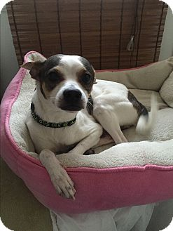 Jack Russell Terrier/Greyhound Mix Dog for adoption in Burbank, California - Flaco