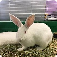Californian Mix for adoption in Madison, New Jersey - Kay