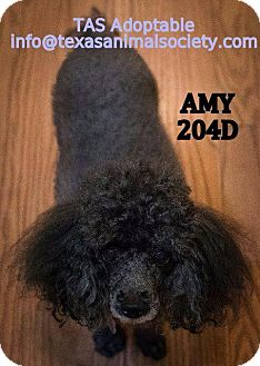 Poodle (Standard) Dog for adoption in Spring, Texas - Amy