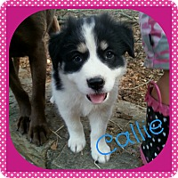 Adopt A Pet :: Callie (Dols) - Hagerstown, MD