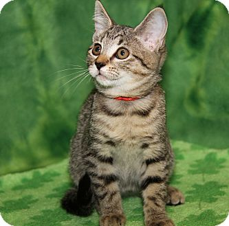 Domestic Shorthair Kitten for adoption in Marietta, Ohio - Gingersnap (Sasha's Kitten)