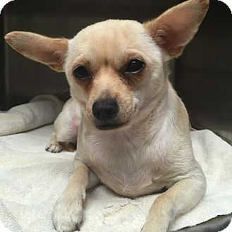 Chihuahua Mix Dog for adoption in Foster, Rhode Island - Patches