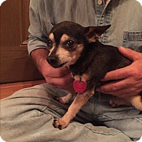 Chihuahua Mix Dog for adoption in Grand Rapids, Michigan - Mickey