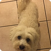 Maltese/Poodle (Miniature) Mix Dog for adoption in Dana Point, California - Snowy