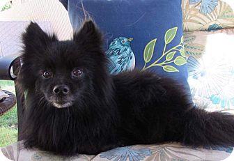 Pomeranian Mix Dog for adoption in Kamloops, British Columbia - Shiloh