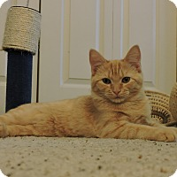 Domestic Shorthair Kitten for adoption in Cincinnati, Ohio - Mac