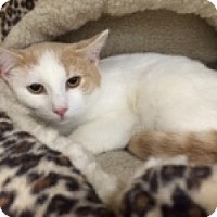 Domestic Mediumhair Cat for adoption in Balto, Maryland - Bella