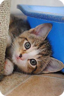 Domestic Shorthair Kitten for adoption in Rustburg, Virginia - Pickle