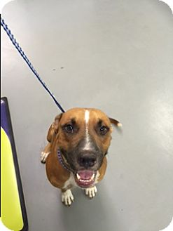 Catahoula Leopard Dog/Black Mouth Cur Mix Dog for adoption in Burlington, Vermont - A - GUS