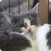 Domestic Shorthair Kitten for adoption in Ellicott City, Maryland - .Willow