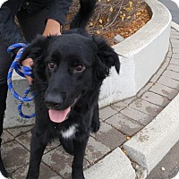 Retriever (Unknown Type) Mix Dog for adoption in Toronto, Ontario - Lincoln