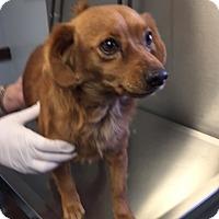 Dachshund Mix Dog for adoption in Powder Springs, Georgia - Dalvin