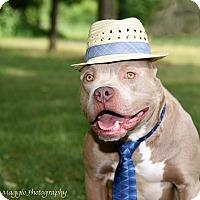 American Staffordshire Terrier Mix Dog for adoption in Davison, Michigan - Frankie