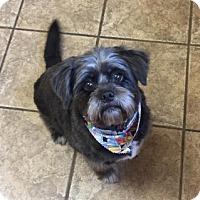 Adopt A Pet :: Lola 111164 - Joplin, MO