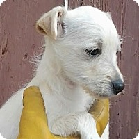 Adopt A Pet :: Lily - Lakewood, CO