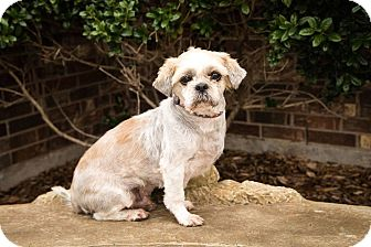 Shih Tzu Dog for adoption in haslet, Texas - Rico