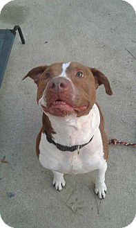 Pit Bull Terrier Mix Dog for adoption in Summerville, South Carolina - Max