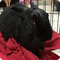 Adopt A Pet :: Blackjack - Woburn, MA
