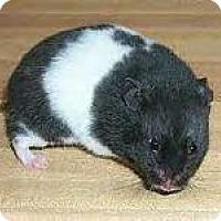 Adopt A Pet :: Moo - Bensalem, PA