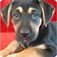 Adopt A Pet :: Murphy - Rigaud, QC