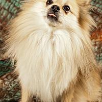 Adopt A Pet :: Simba - Elizabethtown, PA