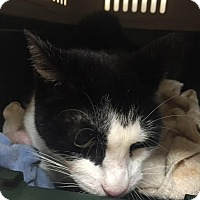 Domestic Shorthair Cat for adoption in Brooklyn, New York - Samantha 'Sammy Tunes'