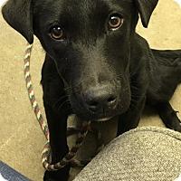 Adopt A Pet :: NOELLE - Cadiz, OH