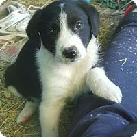 Adopt A Pet :: Gizi AD 01-16-16 - Preston, CT