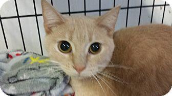 American Shorthair Cat for adoption in Phoenix, Arizona - GIGI