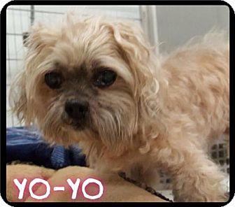 Shih Tzu/Poodle (Miniature) Mix Dog for adoption in Maumelle, Arkansas - Yo-yo -  385 / 2016