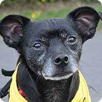 Pug/Chihuahua Mix Dog for adoption in Bedminster, New Jersey - Winston