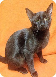 Domestic Mediumhair Cat for adoption in Watauga, Texas - Turner