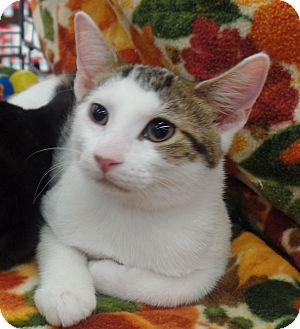 Domestic Shorthair Kitten for adoption in Wayne, New Jersey - Booker