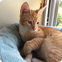 Adopt A Pet :: Ringo - Colmar, PA