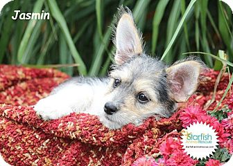 Yorkie, Yorkshire Terrier/Schnauzer (Miniature) Mix Puppy for adoption in Plainfield, Illinois - Jasmin