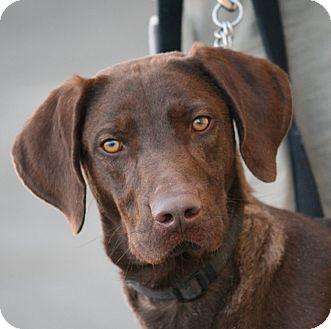 Labrador Retriever Mix Dog for adoption in Palmdale, California - Connor