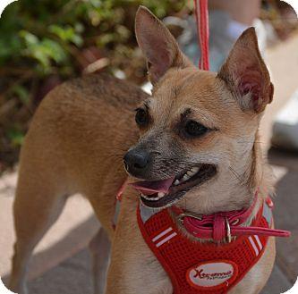 Chihuahua Mix Dog for adoption in Phoenix, Arizona - Jazzy