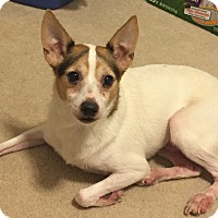 Adopt A Pet :: Lil Debbie#2M (Jack) - Orlando, FL