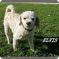Adopt A Pet :: Elvis - Newport Beach, CA