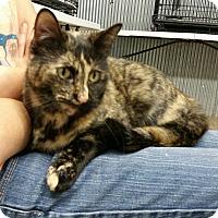 Siamese Cat for adoption in Montgomery City, Missouri - Starshine