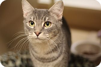 Domestic Shorthair Kitten for adoption in Richmond, Virginia - Hushpuppy