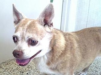 Pug/Chihuahua Mix Dog for adoption in Rockaway, New Jersey - Little Miss Yapper