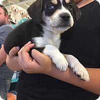 Adopt A Pet :: Clara - norridge, IL