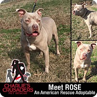 Adopt A Pet :: Rose - Spring City, PA