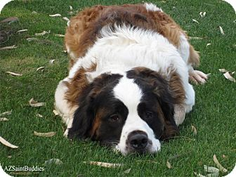 St. Bernard Dog for adoption in Glendale, Arizona - KRAMER