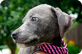 Blue Lacy/Texas Lacy Mix Puppy for adoption in Houston, Texas - Roux