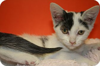 Domestic Shorthair Kitten for adoption in SILVER SPRING, Maryland - TRUDY