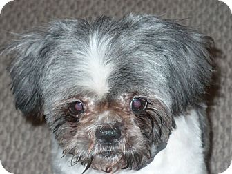 Shih Tzu Dog for adoption in Richmond, Virginia - Trish