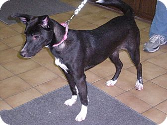 "Border Collie Mix Dog for adoption in New Castle, Pennsylvania - "" Melody """