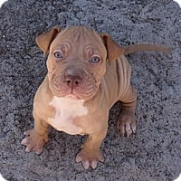 Adopt A Pet :: Snickers...puppy - ....., FL